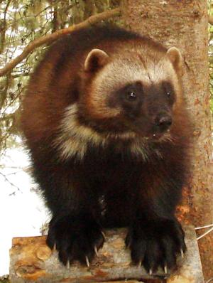 """This undated image provided by the U.S. Fish and Wildlife Service shows a wolverine. Add the tenacious wolverine, a snow-loving predator sometimes called the """"mountain devil,"""" to the list of species the government says is threatened by climate change. Federal wildlife officials on Friday, Feb. 1, 2013, will propose Endangered Species Act protections for the rare animal in the lower 48 states, a step twice denied under the Bush administration. (AP Photo/U.S. Fish and Wildlife Service)"""