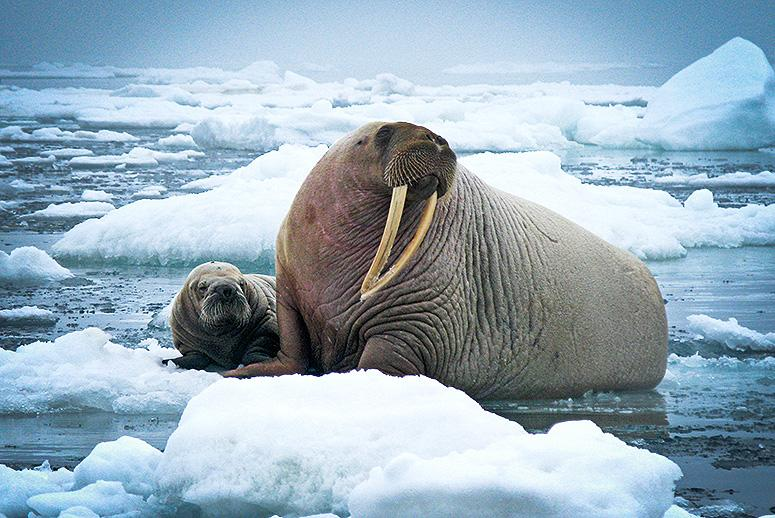 Alaska Officials: Evidence in 25 Walrus Deaths Points to Humans