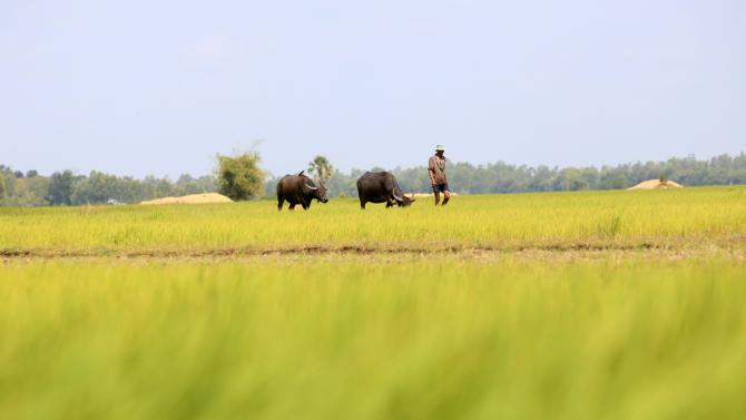 A man walks with buffalos on a paddy field as he returns back home in Svay Rieng province
