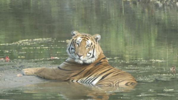 Tiger Tracker: Tales from a Conservation Biologist