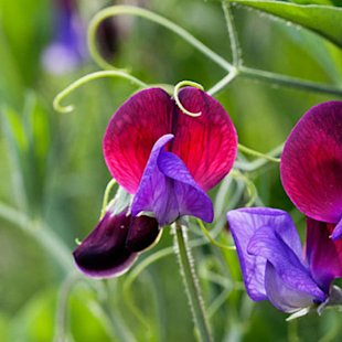 Plant seeds of sweet peas now