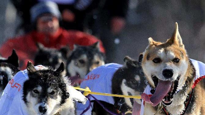 Dogs on the team of Anna Berrington run in the ceremonial start of the Iditarod Trail Sled Dog Race Saturday, March 2, 2013, in Anchorage, Alaska. The competitive portion of the 1,000-mile race is scheduled to begin Sunday in Willow, Alaska. (AP Photo/Dan Joling)