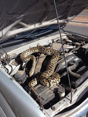 This image provided by the Santa Fe Police Department shows a 20-pound brown and yellow python that was found on an engine block Thursday July 10, 2014 in Santa Fe, N.M. The animal was taken to a local animal shelter with minor injuries. (AP Photo/Santa Fe Police Department)