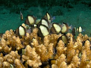 Recalcitrated Damselfish