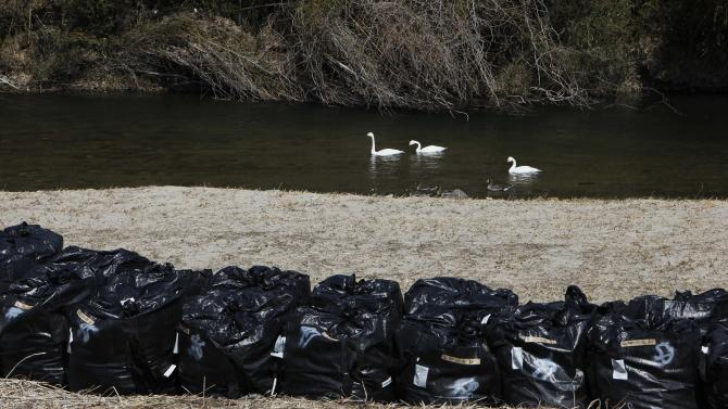 In this Tuesday, March 5, 2013 photo, swans swim in a river near bags of radiation-contaminated leaves and soil in the abandoned town of Naraha, just outside the exclusion zone surrounding the Fukushima Dai-ichi nuclear plant in Japan. Two years after the triple calamities of earthquake, tsunami and nuclear disaster ravaged Japan's northeastern Pacific coast, radioactive and chemical contamination remains a threat as clean-up projects face troubles with organized crime and mishandling. (AP Photo/Greg Baker)