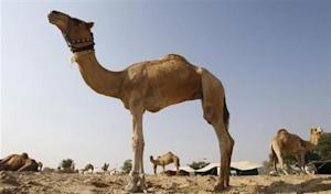 Camels are seen in a farm in Doha