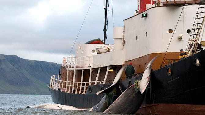 The tails of two 35-tonne fin whales are bound to a Hvalur HF boat off the coast of Hvalfjsrour, north of Reykjavik, on the western coast of Iceland on June 19, 2009