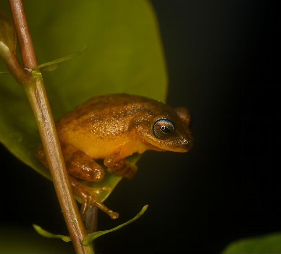 Blue eyed bush frog in Agumbe