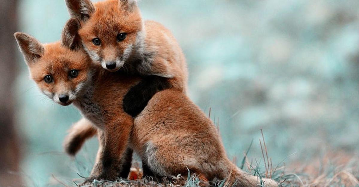 27 Of The Cutest Foxes You Will Ever See