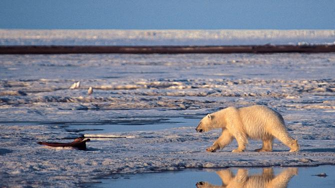 """FILE - This undated file photo provided by Subhankar Banerjee shows  a polar bear in the Arctic National Wildlife Refuge in Alaska.  Federal wildlife biologist Charles Monnett, whose observation that polar bears likely drowned in the Arctic helped galvanize the global warming movement, was placed on administrative leave as officials investigate him for scientific misconduct. Investigators' questions have focused on a 2004 journal article that Monnett wrote about the bears, said thePublic Employees for Environmental Responsibility group that is representing him.  Monnett was told July 18 that he was being put on leave, pending an investigation into """"integrity issues."""" (AP Photo/Subhankar Banerjee, File)"""