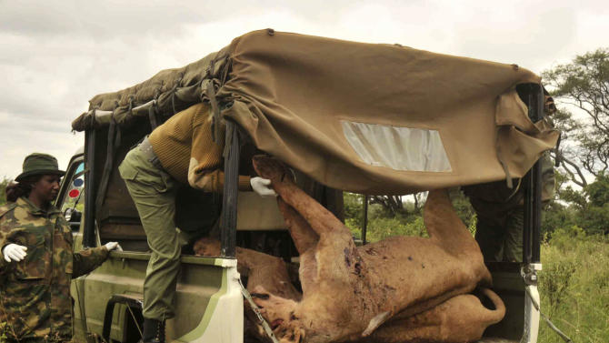 Kenya Wildlife Service rangers load the carcasses of six lions speared to death by residents of Oloika area in retaliation after the lions raided a boma (livestock enclosure) and ate four goats, in Kitengela, Kajiado County, Kenya, Wednesday, June 20, 2012. The Kenya Wildlife Service said the killings are a big loss to Kenya's economy, given the number of tourists who travel to Kenya to see big game. The lions had strayed outside of Nairobi National Park in search of food when they killed the goats. (AP Photo/Dennis Kibet)