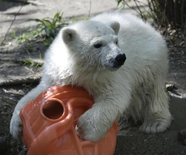 Luna, a resident polar bear cub, plays with a toy during a news conference at the Buffalo Zoo in Buffalo, N.Y., Wednesday, May 15, 2013. Luna will be the playmate for Kali, an orphaned polar bear cub