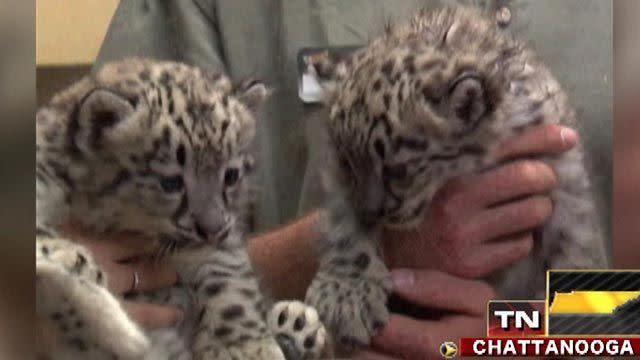 Across America: Snow leopard cubs make big debut in Tenn.