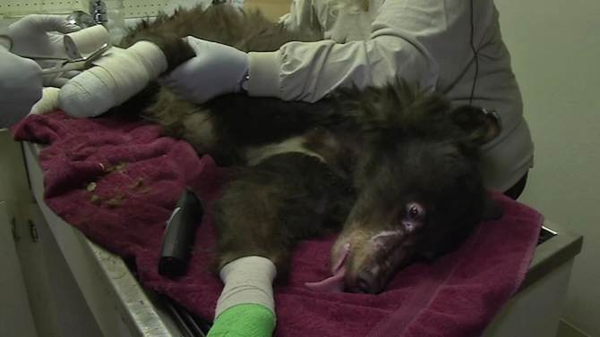Burned bear cub recovering well at Tahoe wildlife center