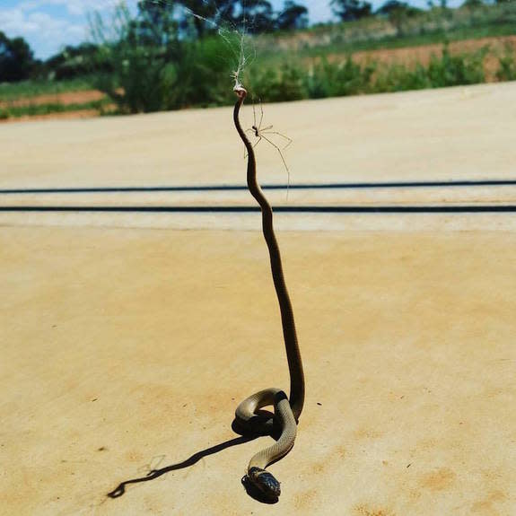 Reptile Dysfunction: Snake Loses Wild Battle Against Spider (Photo)