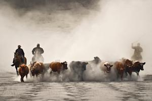 Chilean cowboys drive their herd along a road covered…
