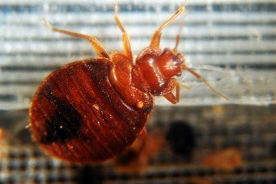 Why bedbugs are making a comeback