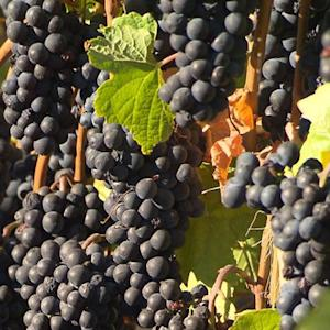 Why California drought crisis is helping create better wines