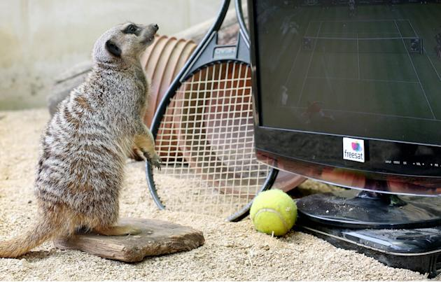 Meerkats watching tennis