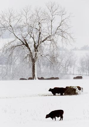 Cattle feed in a snow covered pasture near Lecompton, Kan., Tuesday, Feb. 26, 2013. For the second time in a week, a major winter storm paralyzed parts of the nation's midsection Tuesday, dumping a fresh layer of heavy, wet snow atop cities still choked with piles from the previous system and making travel perilous from the Oklahoma panhandle to the Great Lakes. The weight of the snow strained power lines and cut electricity to more than 100,000 homes and businesses. At least three deaths were blamed on the blizzard. (AP Photo/Orlin Wagner)