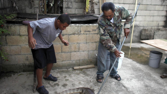 In this Dec. 5, 2012 photo, Daniel Montanez, 58, uses a pole to control a caiman at his home in the Los Naranjos neighborhood of Vega Baja, Puerto Rico. A fisherman by trade, Montanez said the caimans first caught his eye during night fishing expeditions. Now, neighbors call him if they have a problem with the reptiles. At left is Montanez' grandson Yamil Morales. (AP Photo/Ricardo Arduengo)
