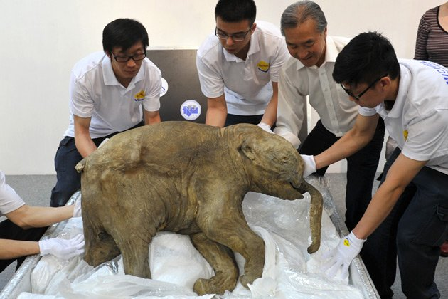 Baby mammoth, age 42000 years