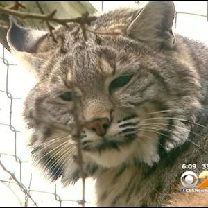 New Jersey Bobcat Owner Ordered To Surrender Pet To Zoo