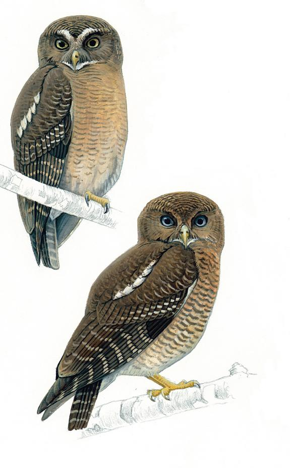 Who? Who? Two New Owl Species Discovered
