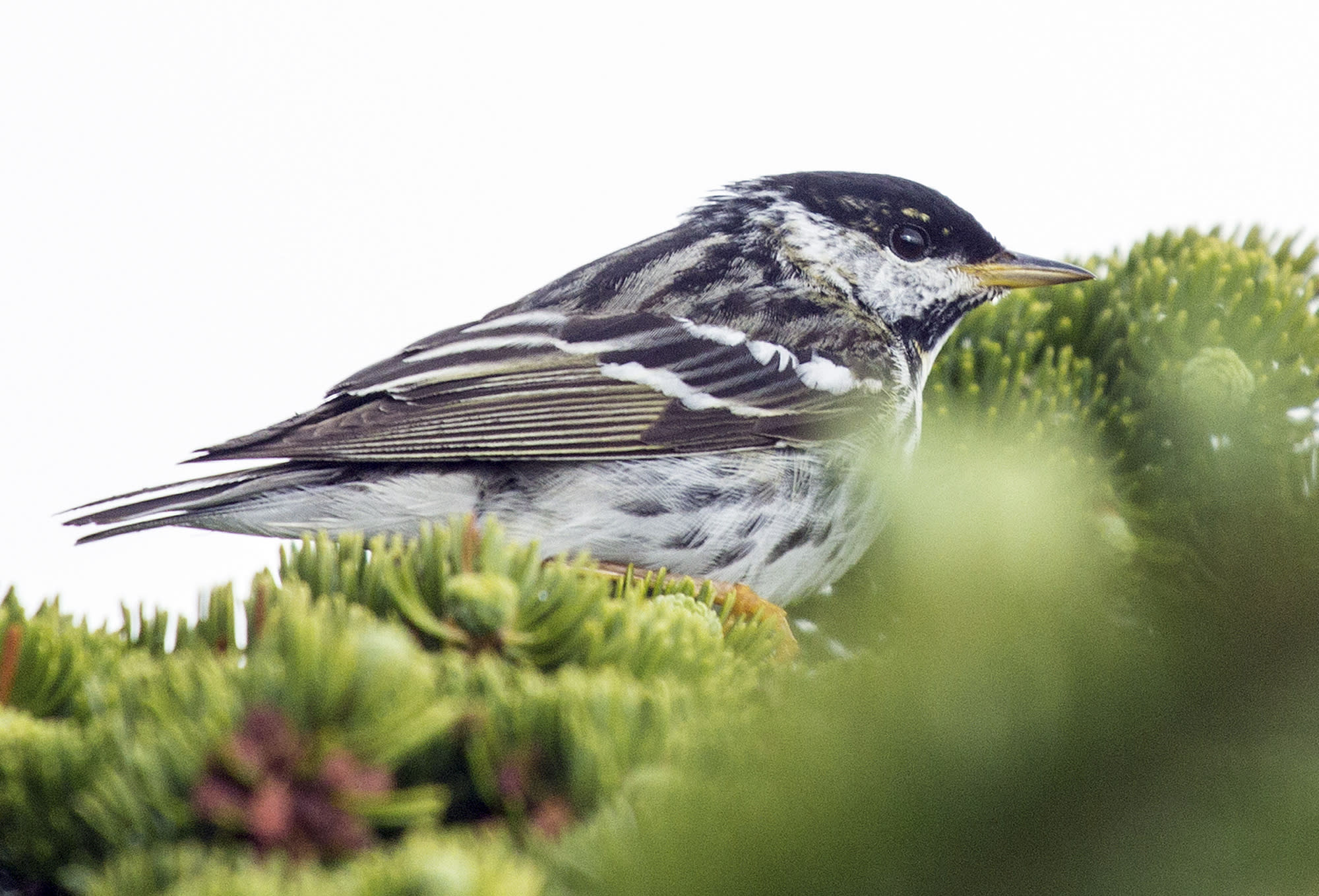 Tiny songbird tracked across 1,700 miles of open ocean
