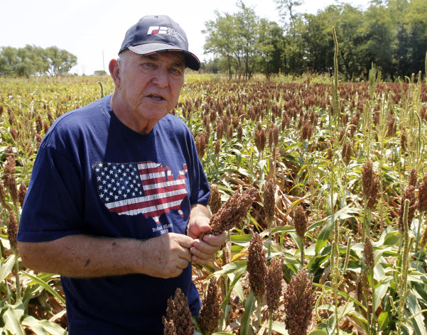Gary Johnson is pictured in a field of milo sorghum on his farm in Waukomis, Okla, Wednesday, Aug. 15, 2012. The government is on the verge of approving sorghum, a grain mainly used as livestock feed, to make a cleaner version of ethanol. (AP Photo/Sue Ogrocki)