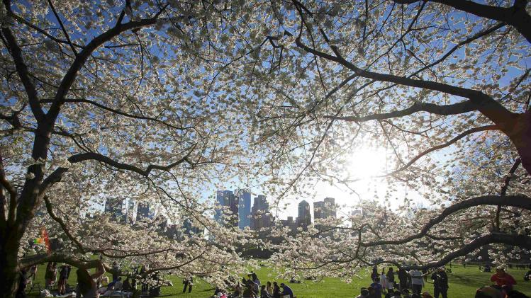People gather near cherry trees in full blossom in Central Park in New York