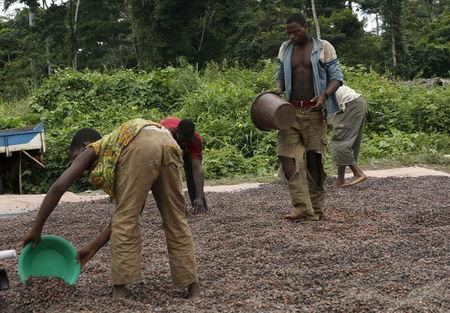 Workers dry cocoa beans in the village of Goin Debe