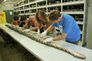 Handout photo of researchers examining Burmese python at the Florida Museum of Natural History in Gainesville