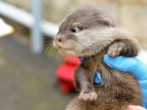 Otter Pups Make Zoo Debut