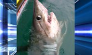 Jaw-Dropping: Huge Shark Caught Off Cornwall
