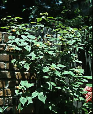 This Sept. 23, 2013 photo shows a Fallgold raspberry on a brick wall in New York City. Fallgold's name speaks out yet another one of the plant's qualities: It bears in the fall. (AP Photo/Lee Reich)