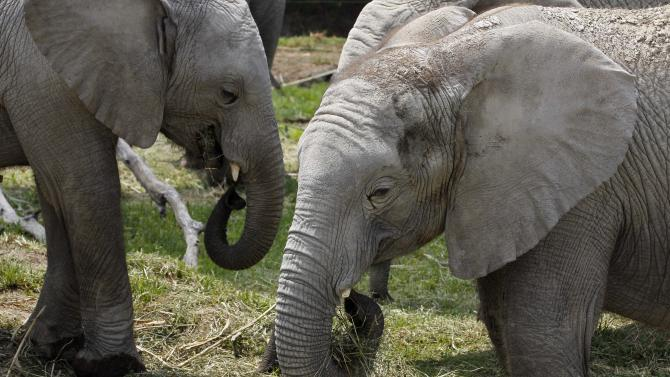 """In this photo taken Friday, June 8, 2012, """"sub-adults"""" African elephants eat hay at their new habitat of the Africam Safari wildlife preserve, near Puebla, Mexico. The nine elephants from Namibia needed a new home and the owner of a 900-acre wildlife preserve in central Mexico jumped at the chance to buy them and add them to his menagerie that includes ostriches, lemurs, giraffes, zebras and monkeys. (AP Photo/Andres Leighton)"""