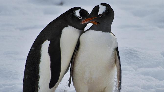 Penguins pictured on King George island in Antarctica, on March 13, 2014. Australia hopes to win support for its plan to create a vast marine sanctuary plan off Antarctica