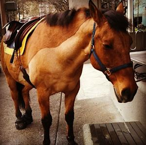 """This undated image provided by the Portland Police department shows Olin, a police horse involved in a kicking incident, Wednesday July 9, 2014 in Portland, Ore. Police say they have arrested a 29-year-old man accused of running up to Olin and uttering a """"karate-like battle cry"""" and delivering what a spokesman calls """"a jumping, double kick"""" to the horse's right thigh. Police say the horse was unfazed and unhurt. (AP Photo/Portland Police Department)"""