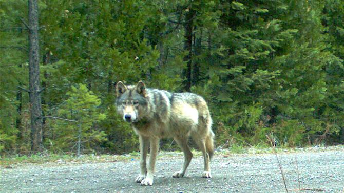 the wolf OR7 in southwest Oregon's Cascade Mountains