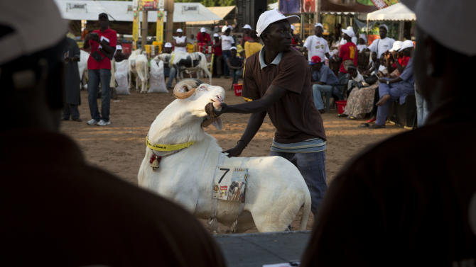 """In this Saturday, Oct. 6, 2012 photo, Dogo Ndiaye displays ram Papis General for the panel of four judges, in the Fann area regional final of the Khar Bii competition, in Dakar, Senegal. In a nation where sheep are given names and kept inside homes as companion animals, the most popular show on television is """"Khar Bii,"""" or literally, """"This Sheep"""" in the local Wolof language. It's an American Idol-style nationwide search for Senegal's most perfect specimen ahead of the Eid al-Adha festival, known locally as Tabaski. (AP Photo/Rebecca Blackwell)"""