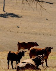 &lt;p&gt;Cattle sit on parched farmland during a drought in Western Australia in 2010. With a spell of drought now affecting Australia, a French expert said that &quot;strong uncertainty is likely to linger&quot; in the southern hemisphere.&lt;/p&gt;