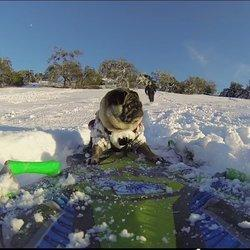 This Glorious Snowboarding Pug Is The Best Thing You'll See All Day