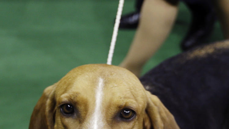 Jewel, an American Foxhound and winner of the hound group, leaves the competition area during the Westminster Kennel Club dog show, Monday, Feb. 11, 2013, at Madison Square Garden in New York. (AP Photo/Frank Franklin II)