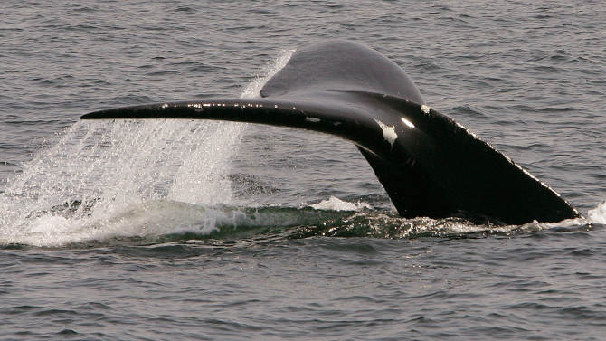 FILE - In this April 10, 2008 file photo, a North Atlantic right whale dives in Cape Cod Bay near Provincetown, Mass. The International Fund for Animal Welfare led the development of a new Whale Alert app for iPhones and iPads, which uses information from underwater microphones off the coast of New England to help mariners avoid striking the mammals. (AP Photo/Stephan Savoia)
