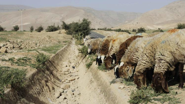 Sheep graze next to a dried out gulley usually flowing with natural spring water in the Palestinian village of al-Auja, near Jericho