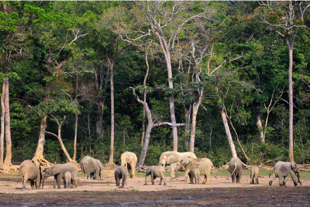 In this Jan. 27, 2012 photo released by WWF-Canon, forest elephants gather at Dzanga Bai clearing in the Dzanga-Sangha reserve, in Central African Republic. Elephant meat is flooding food markets in v