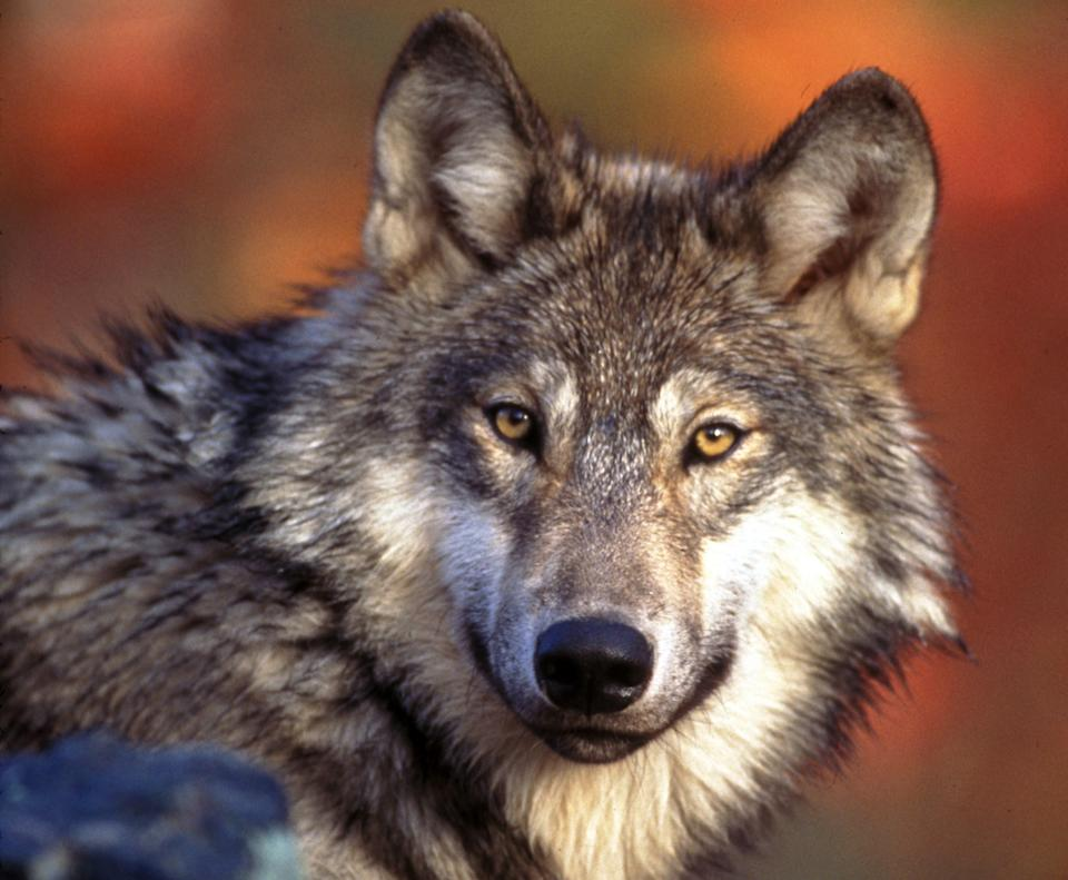 Draft rule ends protections for gray wolves