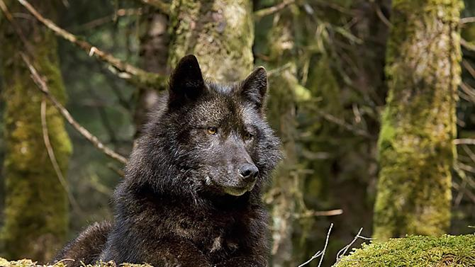 Alaska's Wolves Face Catastrophe