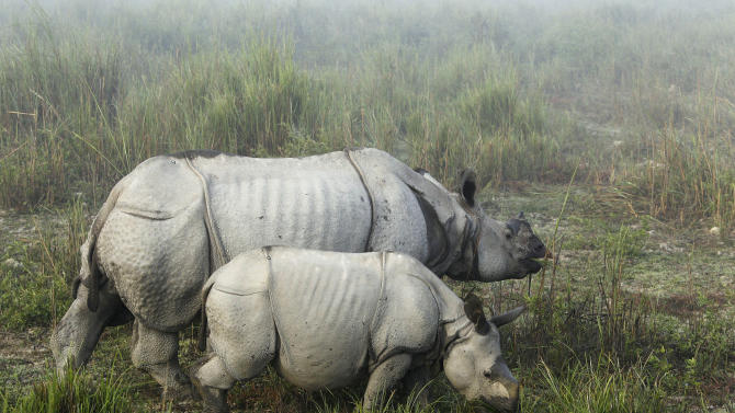 """In this Monday, Dec. 3, 2012 photo, one-horned rhinoceroses graze inside the Kaziranga National Park, a wildlife reserve that provides refuge to more than 2,200 endangered Indian one-horned rhinoceros, in the northeastern Indian state of Assam. Even in this well protected reserve, where rangers follow shoot-to-kill orders, poachers are laying siege to """"Fortress Kaziranga,"""" attempting to sheer off the animals' horns to supply a surge in demand for purported medicine in China that's pricier than gold. A number of guards have been killed along with 108 poachers since 1985 while 507 rhino have perished by gunfire, electrocution or spiked pits set by the poachers, according to the park. (AP Photo/Anupam Nath)"""